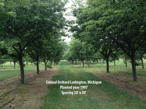 Colossal orchard in Ludington