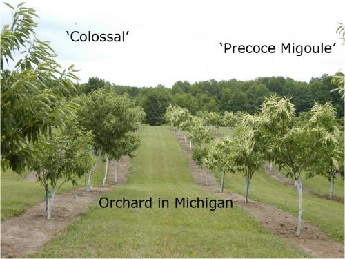 Orchard in Michigan
