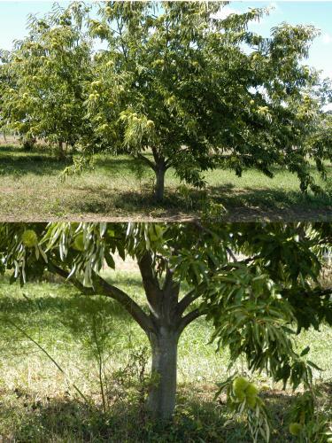 Pruning Chestnuts