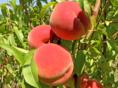 General considerations for growing backyard tree fruit - Considerations For Growing Backyard Tree Fruit - MSU Extension