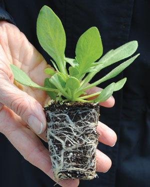 """Petunia transplant with healthy white roots.  This root system is not pot-bound."""