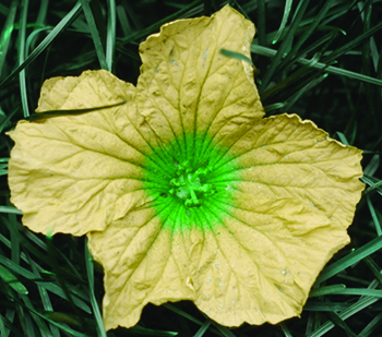 Insect vision of a flower