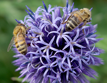Honey bees on globe thistle