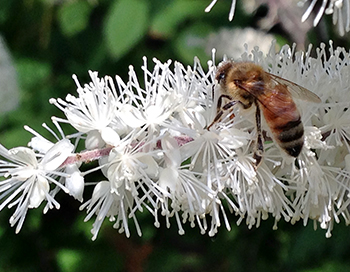 Honey bee on snakeroot