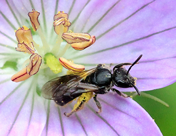 Native bee on geranium