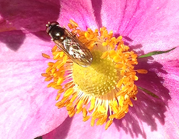 Hover fly on anemone