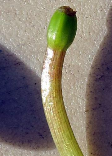Close-up of European frogbit bud