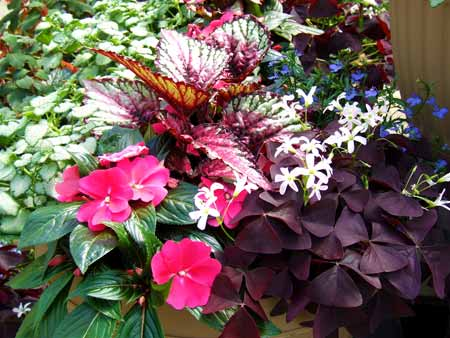 Pink, green, and purple rex begonias with impatiens
