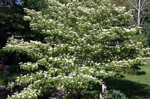 Smart trees and shrubs for michigan landscapes msu extension dogwood tree mightylinksfo
