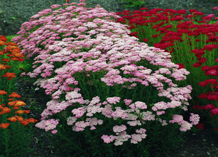 Vibrant pink flowers ('Pink grapefruit' yarrow)