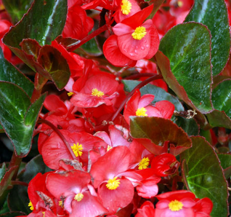 Close-up photo of wax begonia: bright red flowers with green leaves