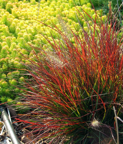 Light green low-growing plant ('Angelina') next to a red, wispy plant ('Burgundy Bunny')