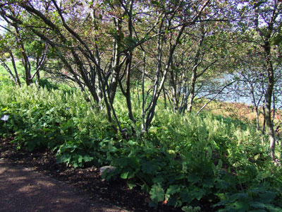 Japanese forest grass and coral bells planted beneath shallow-rooted trees.