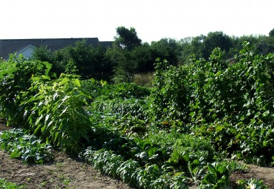 Optimum production garden in a full sun location