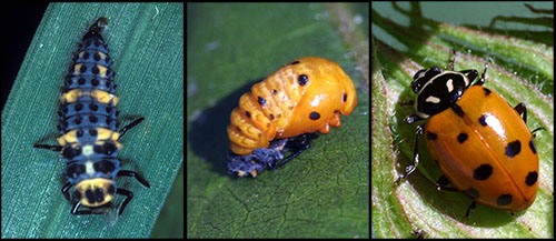 Three different pictures showing the three different life stages of a beneficial lady beetle: larva, pupa, adult