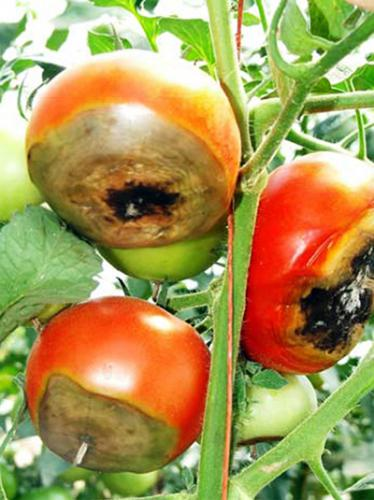 Blossom-end rot on tomatoes. Photo: Rebecca Finneran, MSU Extension.