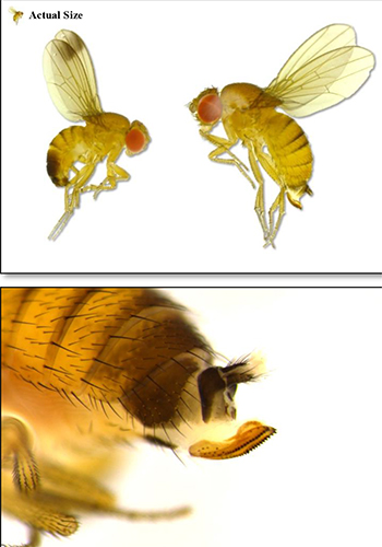 Spotted wing Drosophila male and female