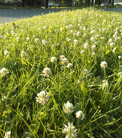 White clover in lawn