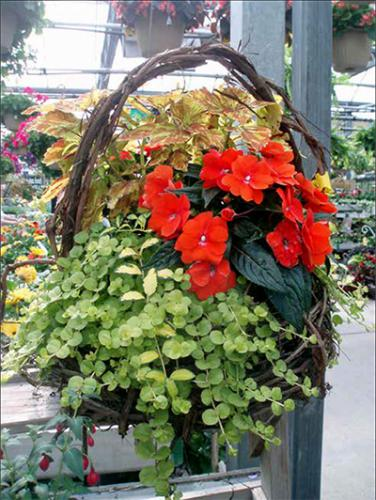 grape vine basket of new guinea impatiens
