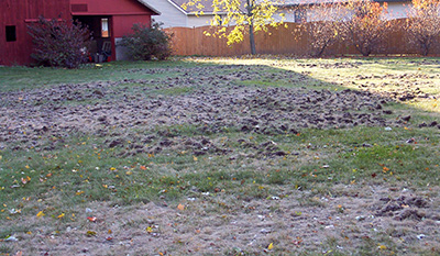 Skunk damage from raccoons feeding on European chafer grubs