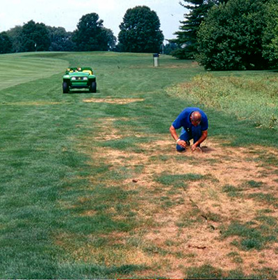Japanese beetle damage on a golf course. MSU Entomology