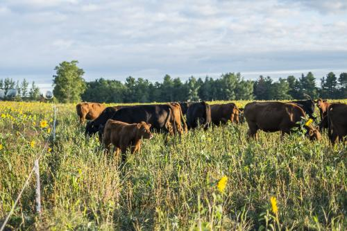 Cattle graze at the Upper Peninsula Research and Extension Center.
