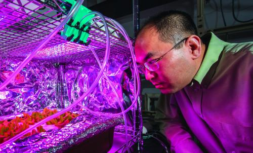Hui Lee, associate professor of plant, soil and microbial sciences, checks on an experiment involving how lettuce takes up antibiotics from water.