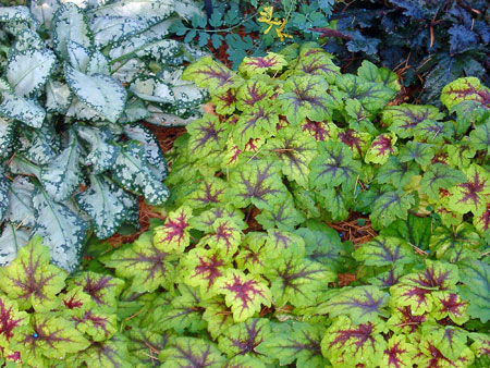 Heucherella and pulmonaria