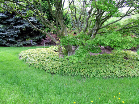Maple tree and Epimedium