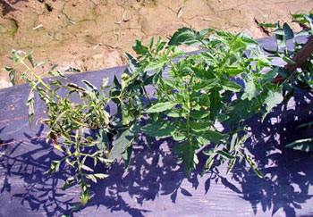 TSWV-infected tomato plant