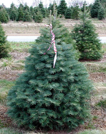 Concolor fir - Choosing The Right Christmas Tree - Christmas Trees