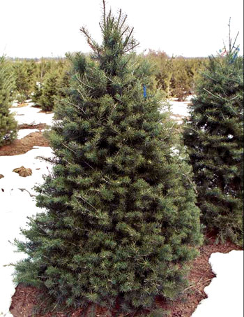 douglas fir - Types Of Christmas Trees