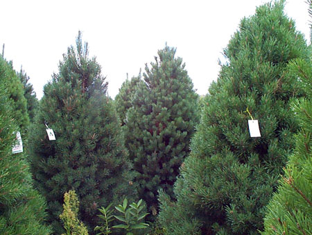 scots pine - Types Of Christmas Trees