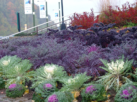 Crazy Cabbages Ornamental Kale Makes The Fall Garden Bloom Msu
