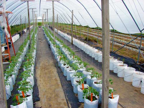 experience with growing tomatoes in high tunnels what. Black Bedroom Furniture Sets. Home Design Ideas