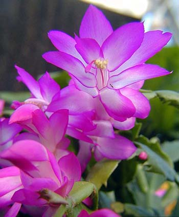 Christmas Cactus Bloom.The Secret To Getting A Christmas Cactus To Bloom