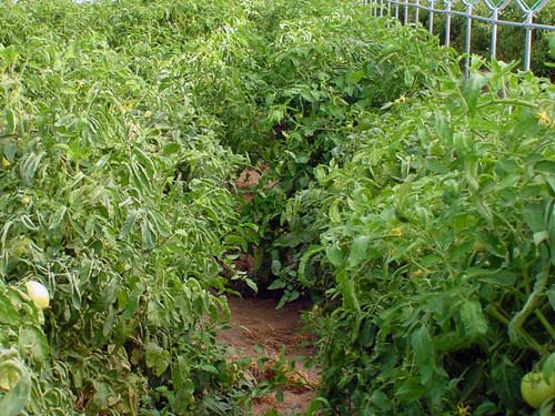 Tunnel-grown tomatoes