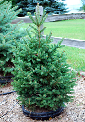 Container-grown black hills spruce