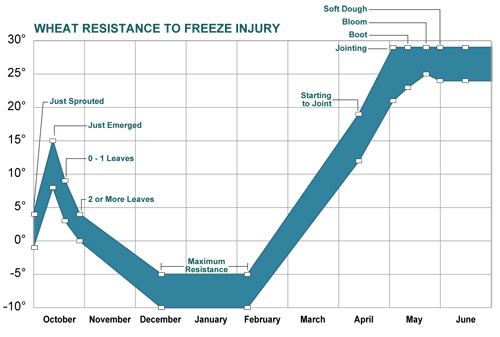 Temperatures that cause freezing injury to winter wheat