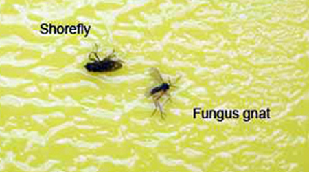 are fungus gnats the problem with your greenhouse crop s roots msu extension. Black Bedroom Furniture Sets. Home Design Ideas