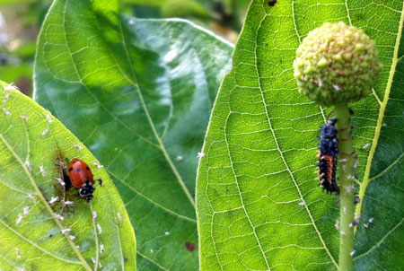 Adult lady beetle and larva feeding