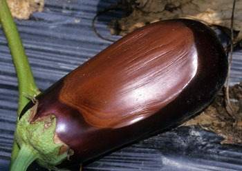 Sunscald on eggplant