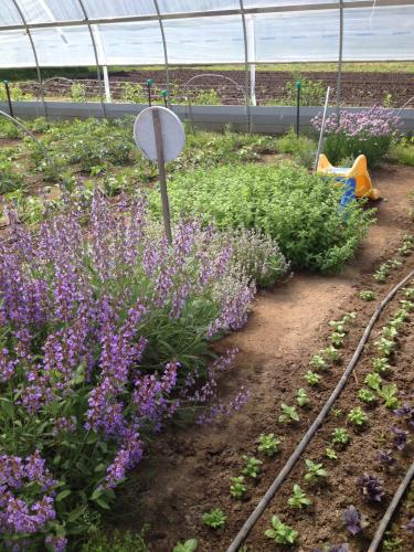 Flowering herbs in hoophouse
