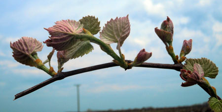 Concord grape shoots