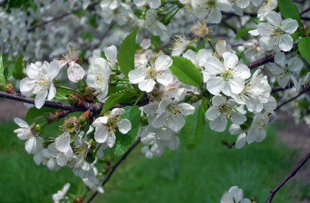 Tart cherry bloom