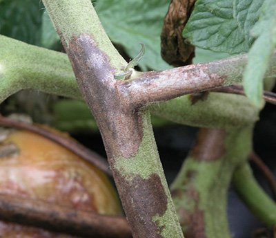 Late blight on tomato stem