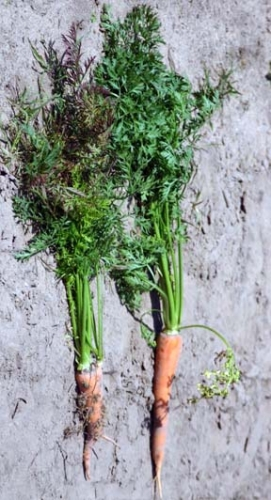 Carrot on the left shows signs of aster yellows: Bronzing of foliage and a hairy, stunted root. Carrot on the right is healthy.