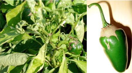 Pepper plants showing twisted leaves and deformed fruit (left) and affected fruit (right).