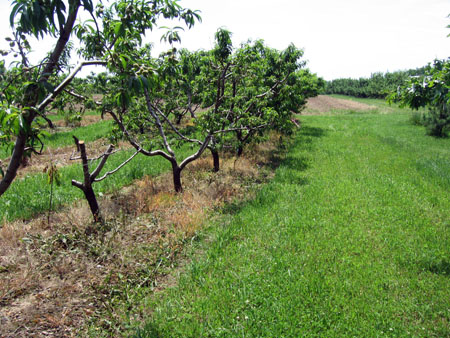 Decline and death in peach orchard infected with tomato ring spot virus.