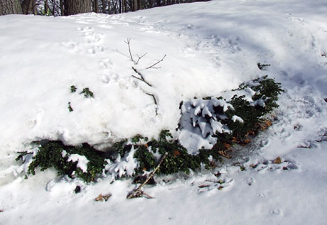Boxwood under snow drift